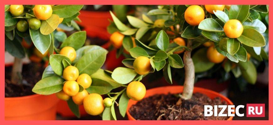 Бизнес идея - выращивание мандариновых деревьев